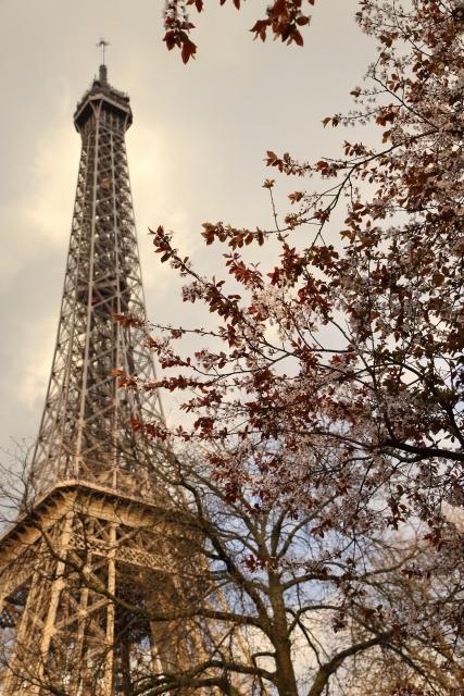 パリのエッフェル塔と桜