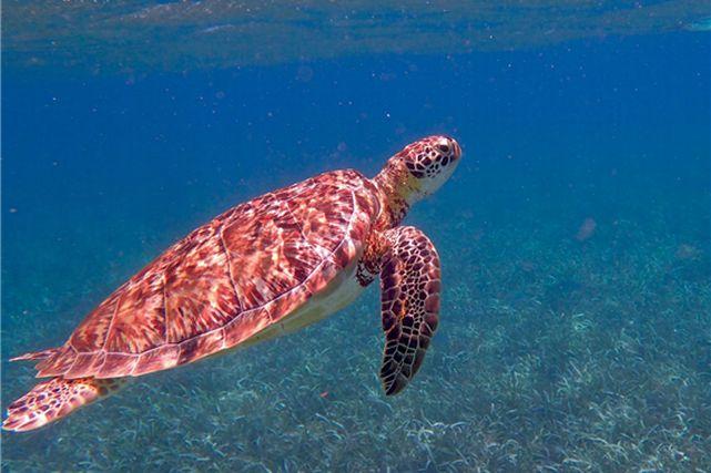 海中を泳ぐウミガメ